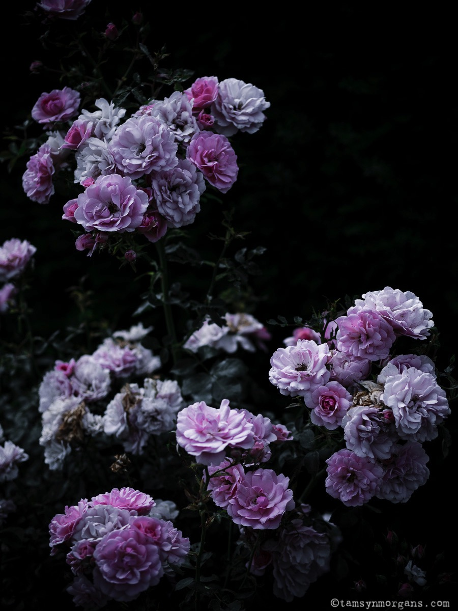 Dark and Moody Roses
