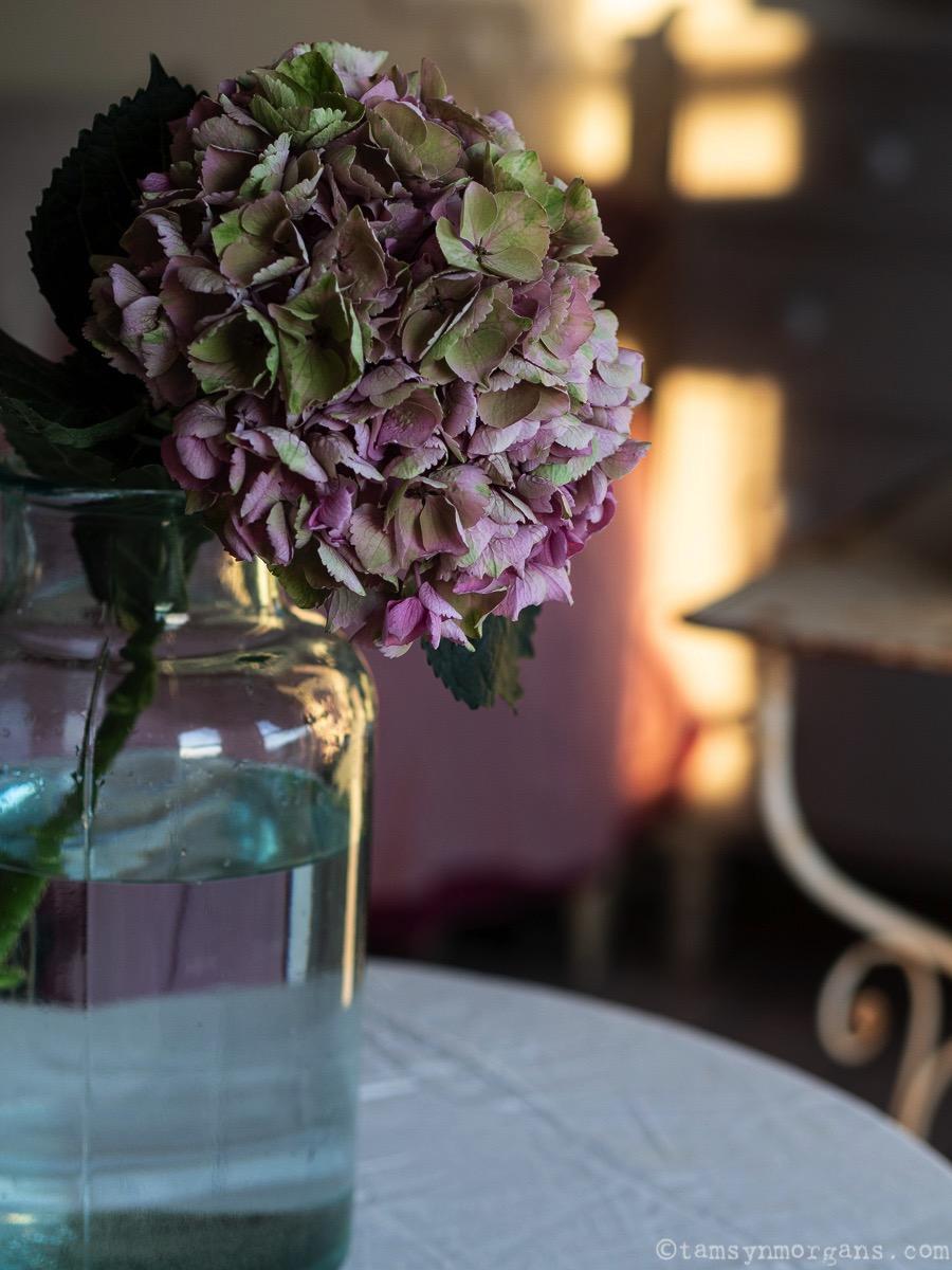 Pink hydrangea at golden hour