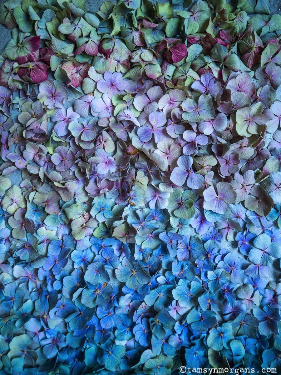 Beautiful hydrangea petals