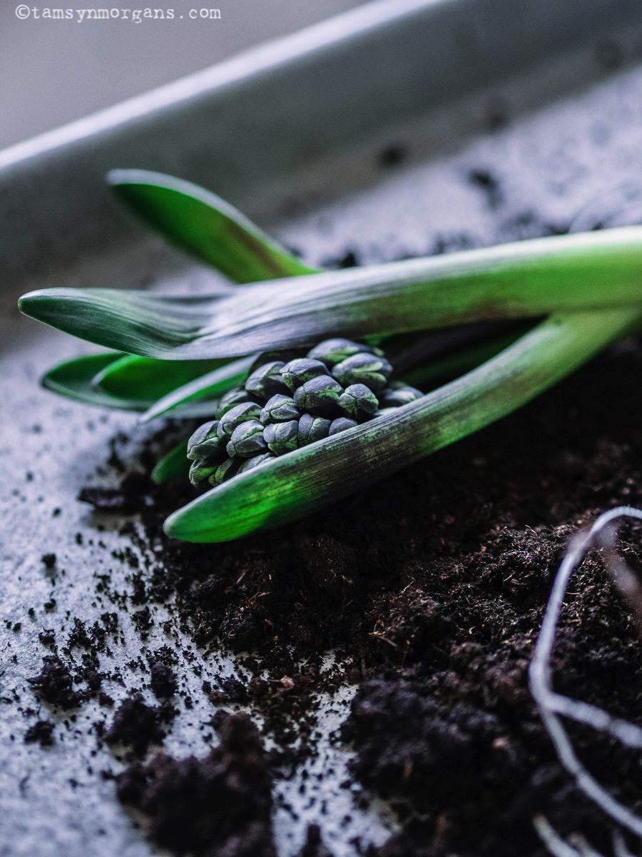 Hyacinth bulb jars
