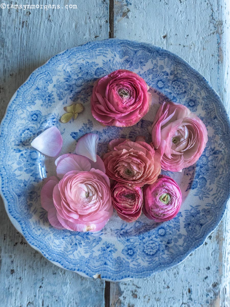Pretty pink ranunculus on vintage blue willow plate