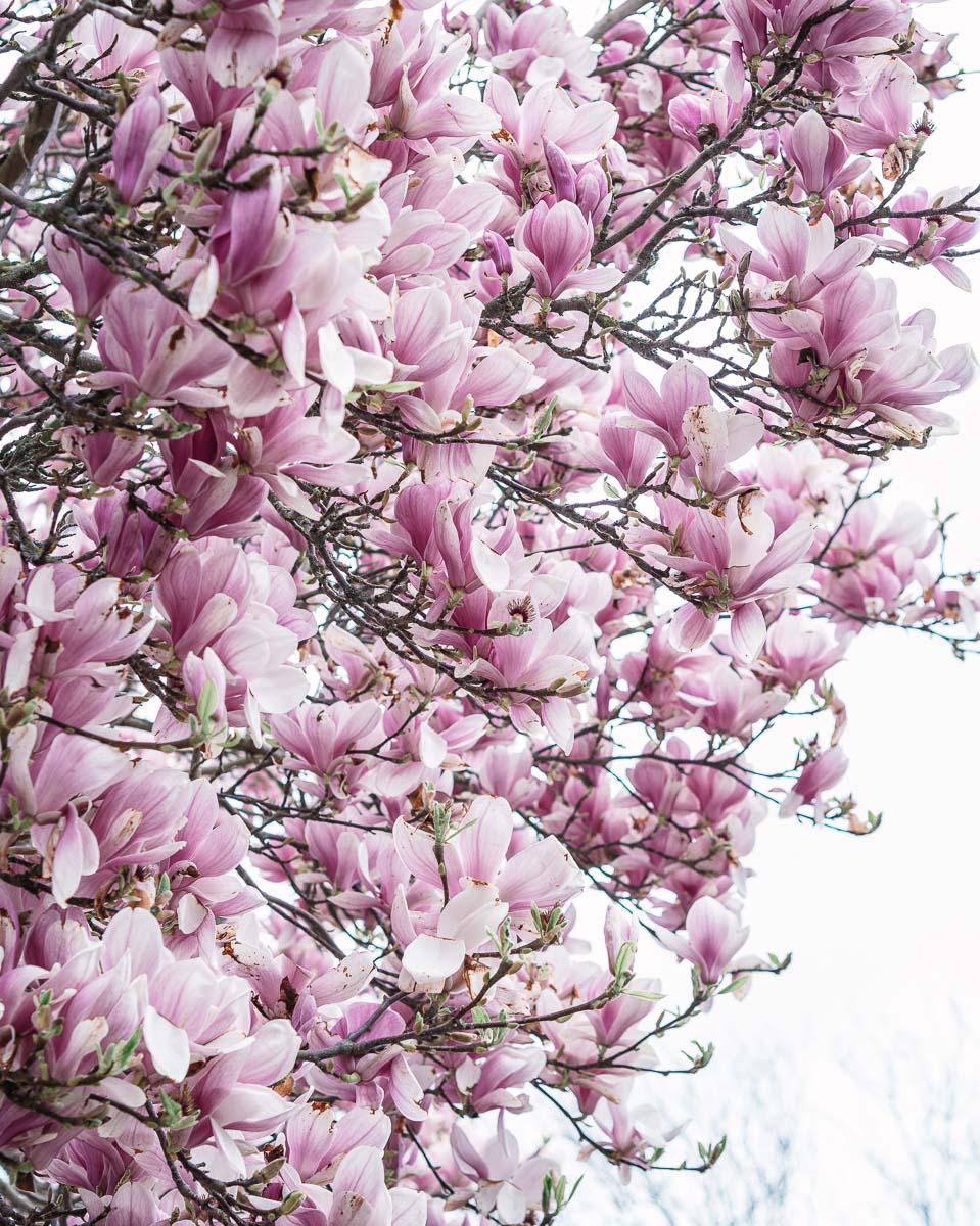 Spring Magnolia in Norwich
