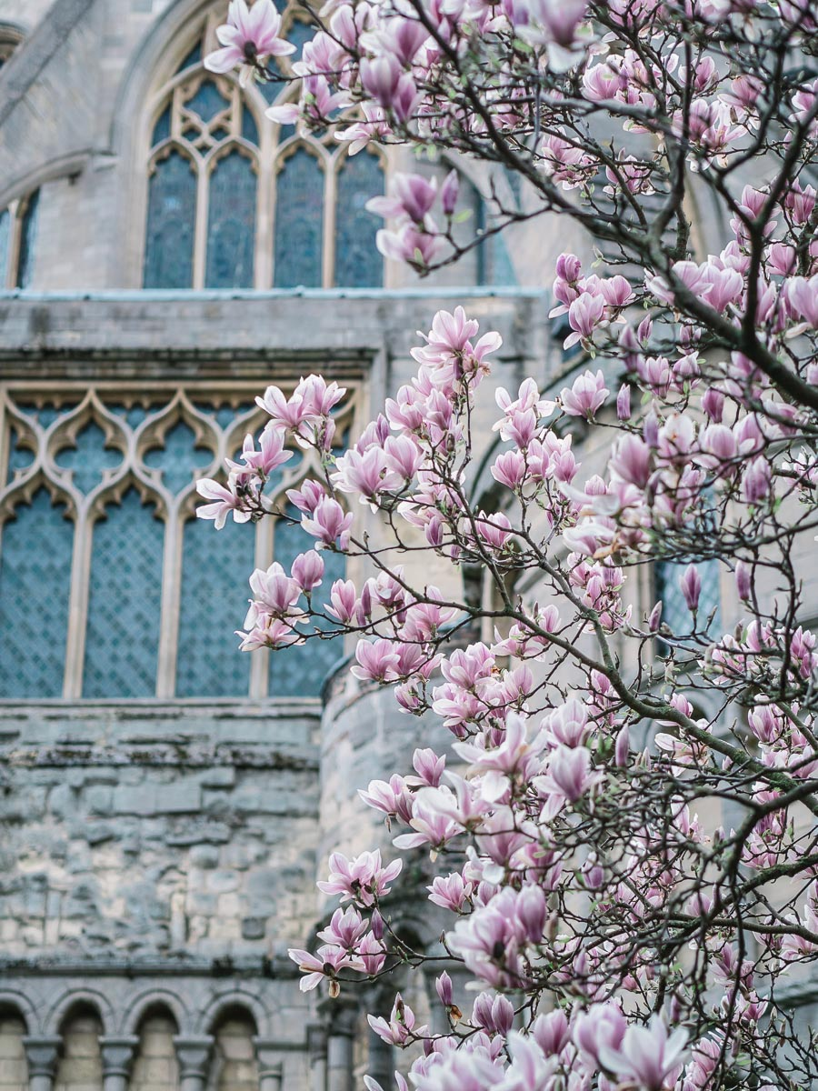 Spring Magnolia by Norwich Cathedral