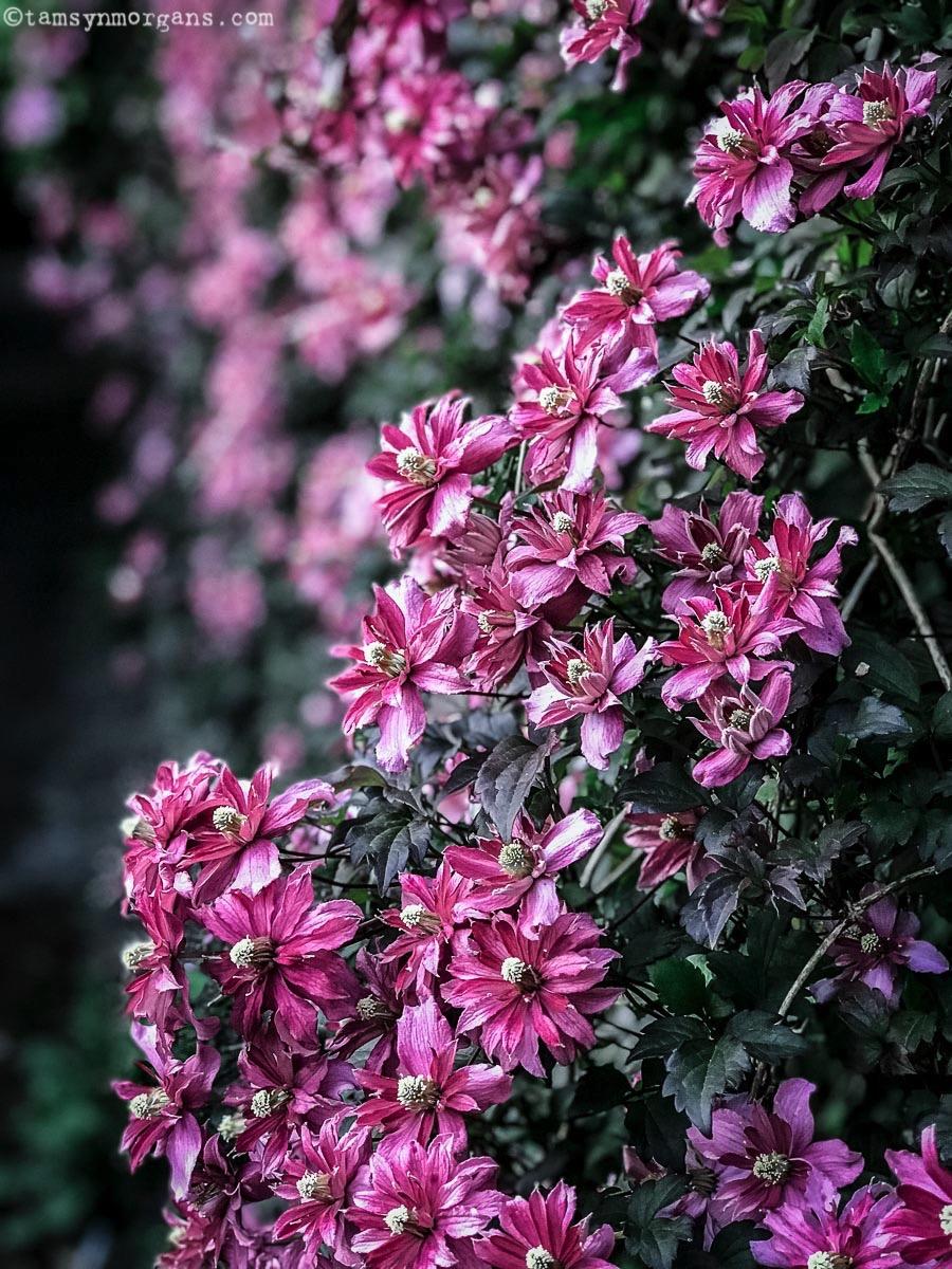 Climbing pink clematis