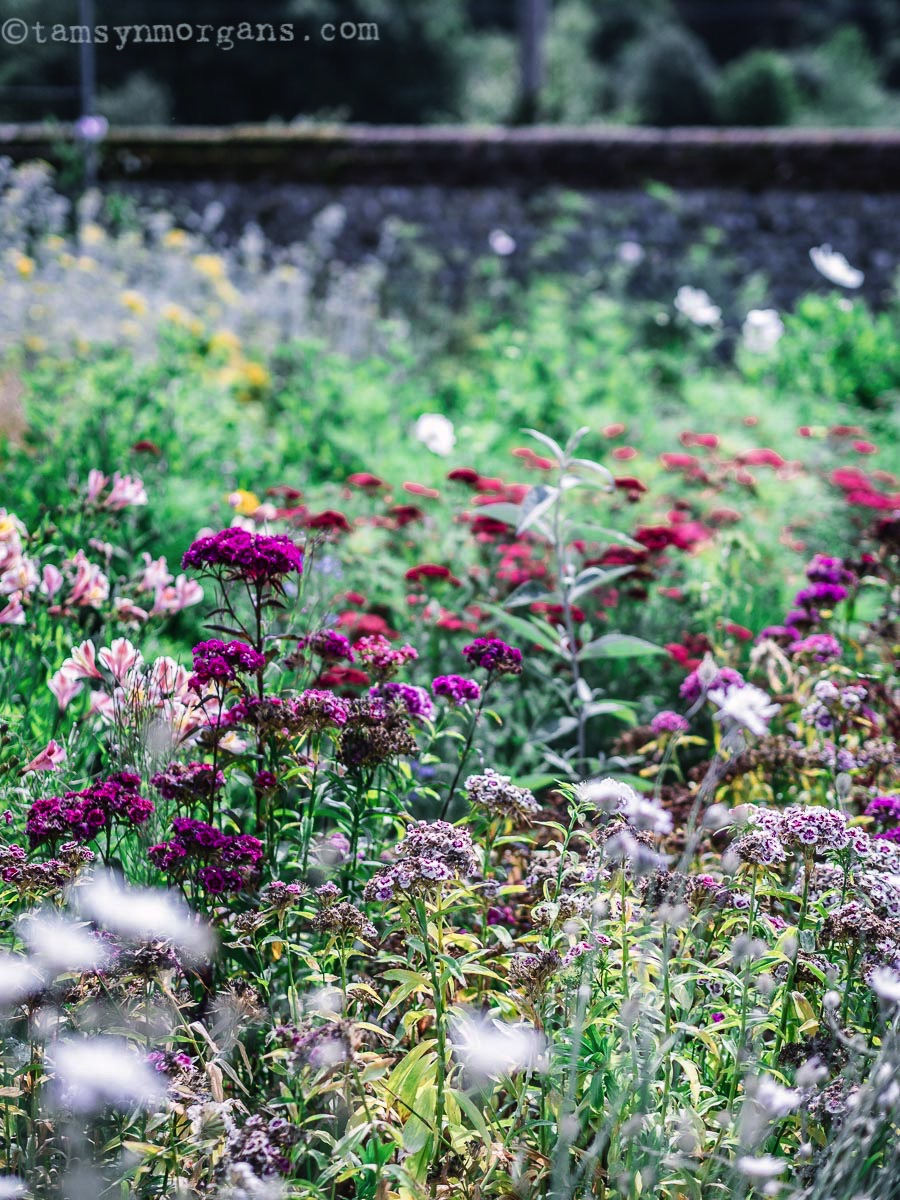 Dahlias in Cutting Garden