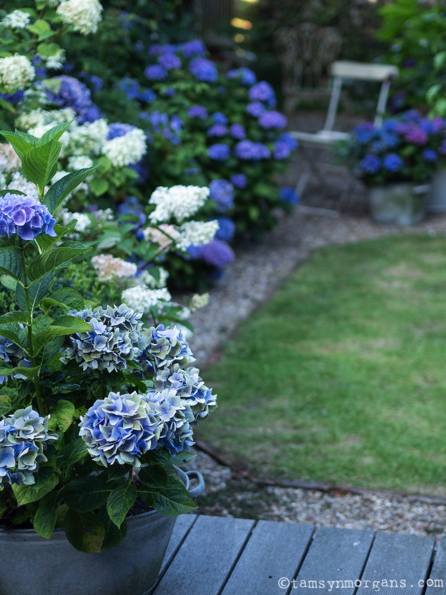 Homegrown Hydrangeas