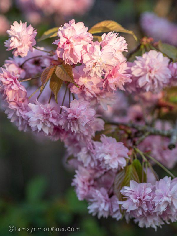 Blossom tree in my garden