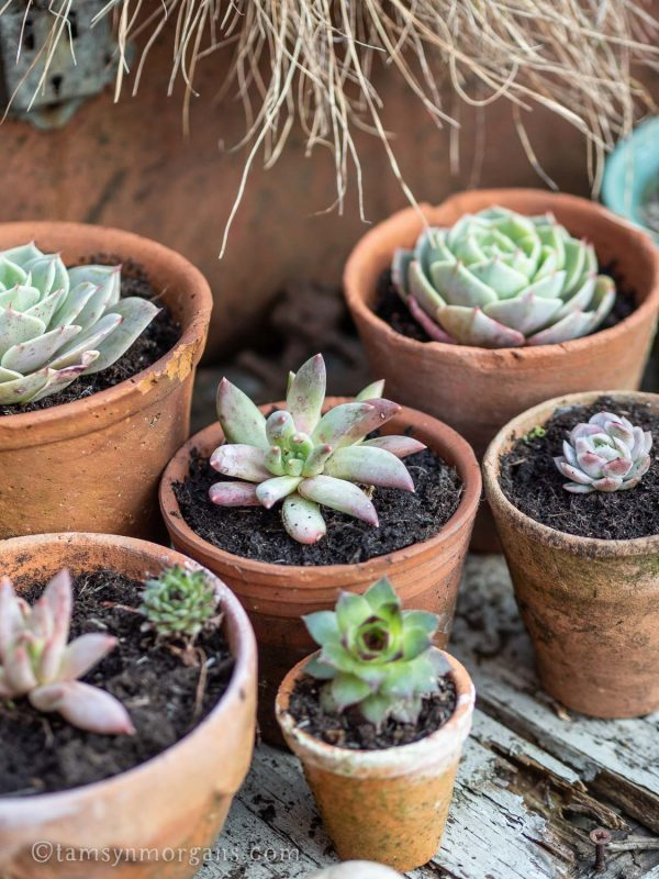 Little succulents in terracotta pots