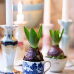Hyacinth bulb in vintage cup